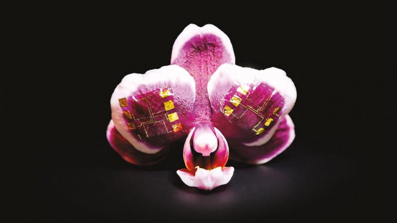Pink orchid petals with ion-gated transistors on the surface.